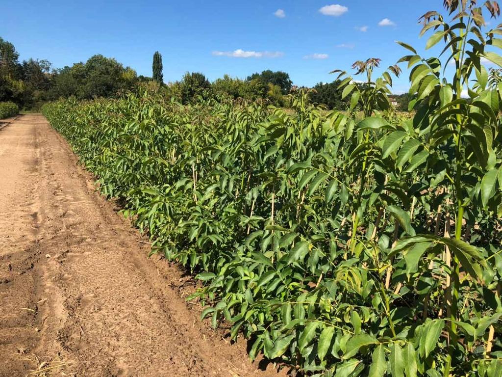 Plants de noix à vendre - nombreuses variétés
